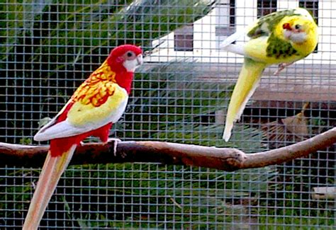 ASNSW - Eastern Rosellas and My Experiences with Mutations