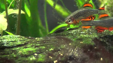 Celestial Pearl Danios, Fighting or Mating ? - YouTube