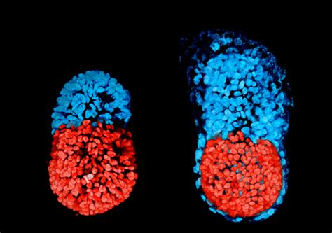 Mouse embryo artificially created from stem cells sheds