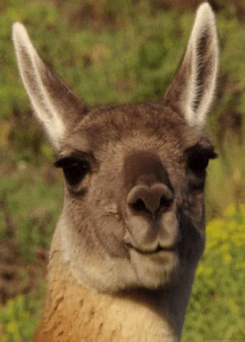 Guanaco GIFs - Find & Share on GIPHY