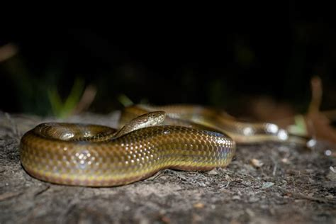 Rainbow Water Snake Facts and Pictures