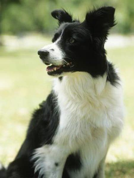 Growth & Weight of Border Collies - Pets