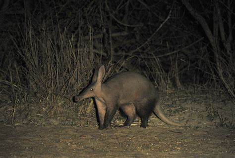 7 leopards, an aardvark and a caracal in South Luangwa