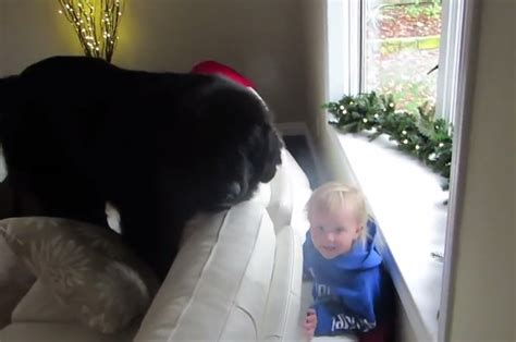 This Big Dog And Little Girl Playing Hide And Seek Will