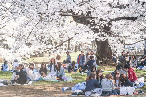 Best cherry blossom spots in Tokyo (where to hanami in Tokyo)